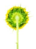 Underside of sunflower Stock Photos