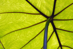 Underside of Tropical Leaf Red and Green Royalty Free Stock Image