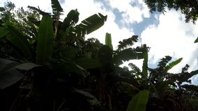 Underside view of banana Trees and vegetation on mountain reserve forest. San Pablo City, Laguna, Philippines - February 25, 2018: Underside view of Banana stock video