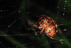 Underside view of a spider crawling on its web Stock Photos