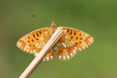 The underside view of a stunning rare Pearl-bordered Fritillary Butterfly, Boloria euphrosyne , perched on a plant stem. Royalty Free Stock Photos