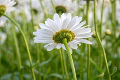Underside view of white daisy Royalty Free Stock Photos