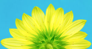 Underside of yellow sunflower Stock Photography