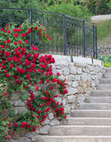 Understödja vitspaljé en röd rosa vine. Royaltyfri Foto