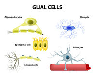 Understödjande celler Neuroglia- eller Glial celler royaltyfri illustrationer