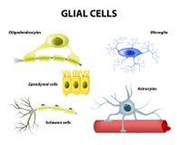 Understödjande celler Neuroglia- eller Glial celler Arkivbilder