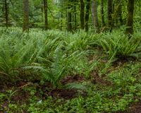 Understory. Sword Ferns Polystichum munitum in Pacific Northwest understory covering forest floor Royalty Free Stock Photography
