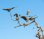 Undertaker Bird. Marabou Stork birds (Leptoptilos crumenifer), often called Undertaker Birds, in flight against a blue sky in Botswana, Africa Stock Photography