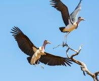 Undertaker Bird. Marabou Stork birds (Leptoptilos crumenifer), often called Undertaker Birds, in flight against a blue sky in Botswana, Africa Stock Image