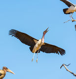 Undertaker Bird. Marabou Stork birds (Leptoptilos crumenifer), often called Undertaker Birds, in flight against a blue sky in Botswana, Africa Royalty Free Stock Photos