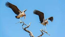 Undertaker Bird. Marabou Stork birds (Leptoptilos crumenifer), often called Undertaker Birds, in flight against a blue sky in Botswana, Africa Royalty Free Stock Photo