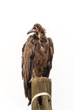 The undertaker in distress. A large vulture standing on a wooden telephone pole with its head up Royalty Free Stock Photo