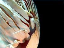 undervattens- övre för tät nautilus arkivbilder