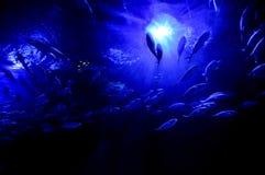 undervattens- attackfiskhaj Royaltyfria Bilder