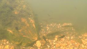 Undervattens- av polliwogs i ett damm stock video