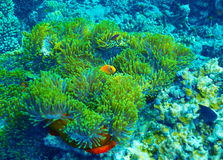 Undervattens- bakgrund för korallrev Arkivfoton