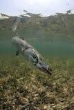 undervattens- barracudastående Royaltyfri Bild