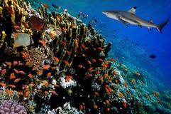 Undervattens- bild av korallreven med hajen Royaltyfri Fotografi
