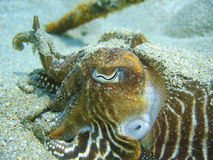 Undervattens- bläckfiskhuvud och öga för närbild gemensamt Arkivfoton