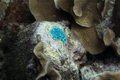 Undervattens- blå nudibranch Royaltyfria Foton