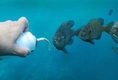 undervattens- bluegilllineupmellanmål Arkivfoto