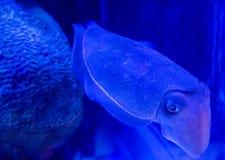 Undervattens- Calamari Royaltyfri Fotografi
