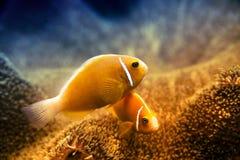 Undervattens- Clownfish och anemon Arkivbilder