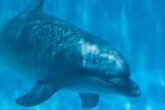 undervattens- delfin Royaltyfri Bild