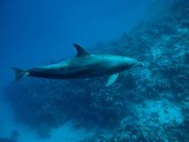 undervattens- delfiniv Royaltyfri Bild
