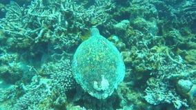 Undervattens- dykning med havssköldpaddan på reven av den maldiviska skärgården stock video