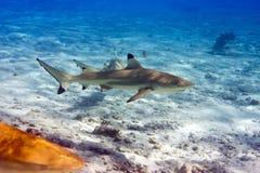 undervattens- för hajar för dagliggandehav soligt Royaltyfri Fotografi