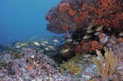 undervattens- för rev för korallfiskliggande tropiskt Royaltyfri Foto
