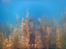 Undervattens- flora Undervattens- växtfloder, sjöar, damm Arkivfoto