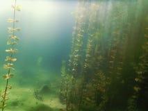 Undervattens- flora Undervattens- växtfloder, sjöar, damm Arkivbilder