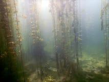 Undervattens- flora Undervattens- växtfloder, sjöar, damm Royaltyfria Bilder