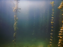 Undervattens- flora Undervattens- växtfloder, sjöar, damm Royaltyfri Bild
