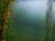 Undervattens- flora Undervattens- växtfloder, sjöar, damm Fotografering för Bildbyråer