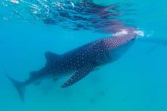 Undervattens- fors av gigantiska hajar för ett val (Rhincodontypusen) Fotografering för Bildbyråer