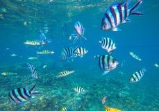 Undervattens- foto med den tropiska fisken för dascillus i blått vatten Exotisk lagun med havliv Arkivbild