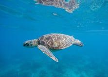 Undervattens- foto med sköldpaddan Exotisk ökustmiljö i den tropiska lagun Royaltyfri Fotografi
