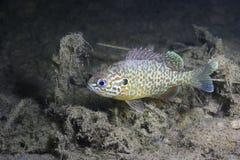 Undervattens- fotografi av gibbosusen för sötvattensfiskPumpkinseed Lepomis arkivfoton