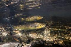 Undervattens- fotografi av Salmotruttaen för brun forell arkivfoto