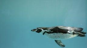 Undervattens- gliding/simning för Humboldt pingvin Arkivfoton