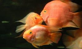 undervattens- guldfiskar Arkivbilder