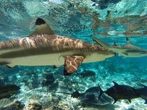 Undervattens- hajar och havsvarelser i Moorea Tahiti Arkivbild