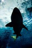 undervattens- hajsilhouette Fotografering för Bildbyråer