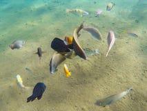 Undervattens- havssikt med den olika tropiska fisken Ungt korallbildande och korallfiskstim Royaltyfri Foto