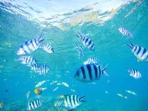 Undervattens- havssikt med den tropiska fisken för dascillus i blått vatten Arkivfoto