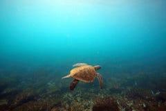 Undervattens- havssköldpadda Arkivfoto