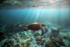 Undervattens- havssköldpadda Arkivfoton